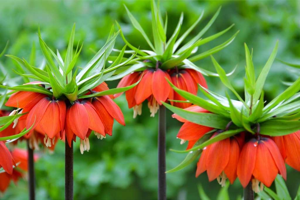 La fritillaire offre de multiples variantes, ici, la fritillaire impériale (Fritillaria imperialis). © Farbkombinat, Adobe stock