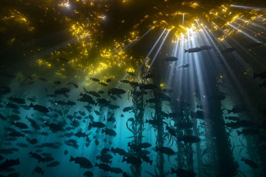 Cathédrale d'algues. © Jon Anderson, UWPG