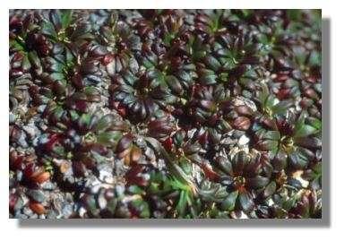 Diapensia lapponica à Cap Miquelon © Francis Muller