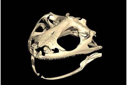 Visualisation 3D du crâne de Latonia nigriventer (HUJ-R-544). © Renaud Boistel, CNRS-IPHEP