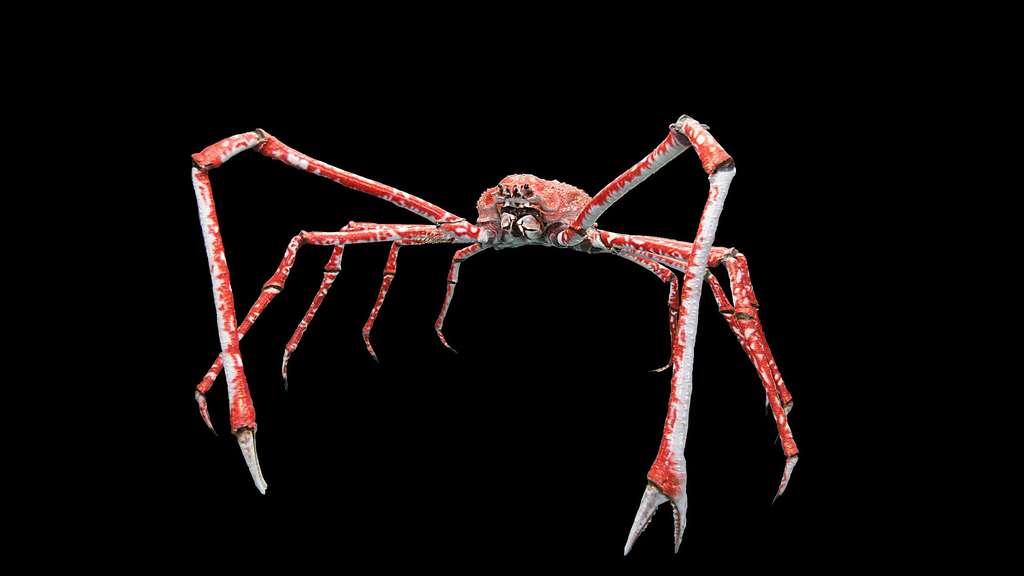 Le crabe-araignée du Japon, plus grand qu'un homme