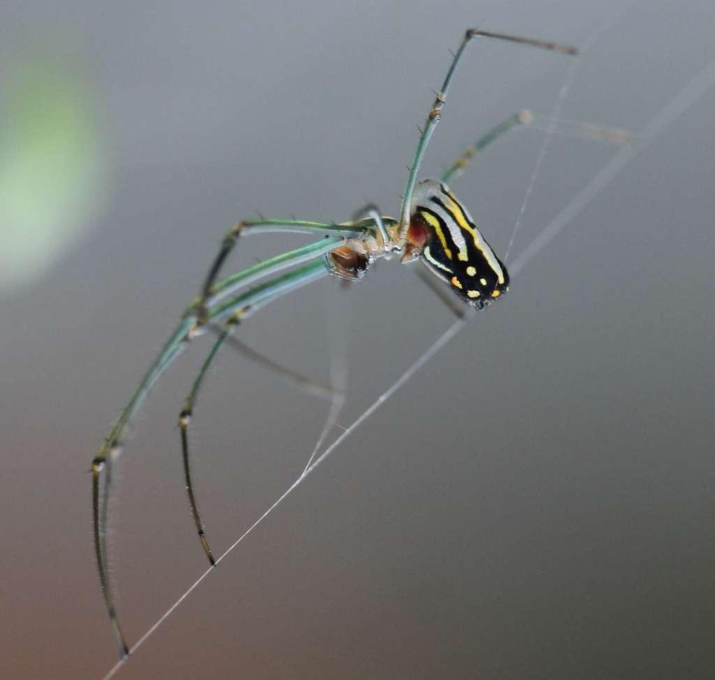Leucauge argyra est l'une de ces araignées qui vivent en société. © AlaskaDave25, Wikipédia, CC by-sa 3.0