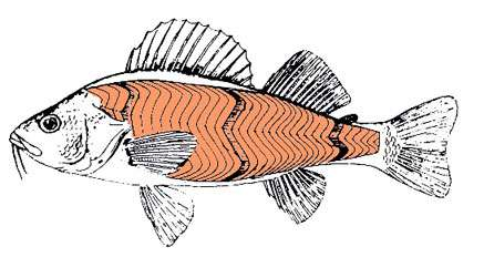 On voit bien sur ce dessin les muscles du poisson (en orange), en forme de W. © Aquabase, Fitzz, CC by-sa 2.0
