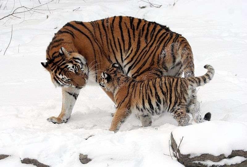 Tigresse de Sibérie et ses petits. © Dave Pape, Wikipédia, domaine public