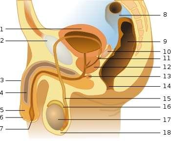 L'urètre correspond au canal qui relie la vessie (1) au méat urinaire (7). Chez l'homme, l'urine et le sperme transitent par l'urètre. Chez la femme, seule l'urine est excrétée par ce canal. © Tsaitgaist, Wikipédia, cc by sa 3.0