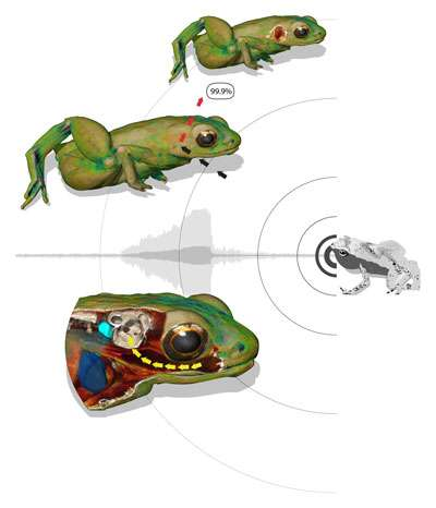 La peau réfléchit 99,9 % des ondes sonores. Chez la grenouille des Seychelles, le restant est transmis à l'oreille interne par la vibration des tissus entre lui et la bouche. © Renaud Boistel, CNRS