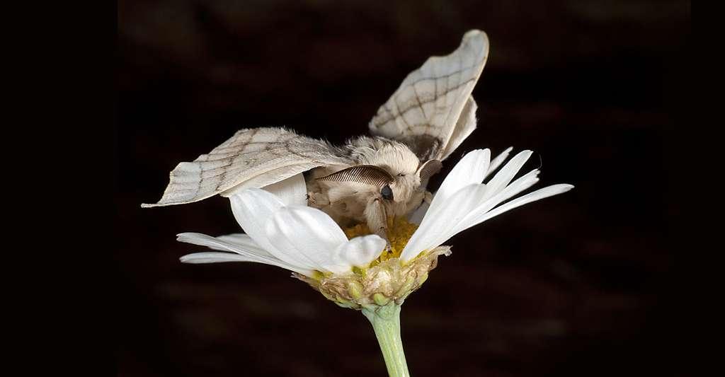 Bombyx mori (Linnaeus, 1758). © Nicola Dal Zotto - Shutterstock