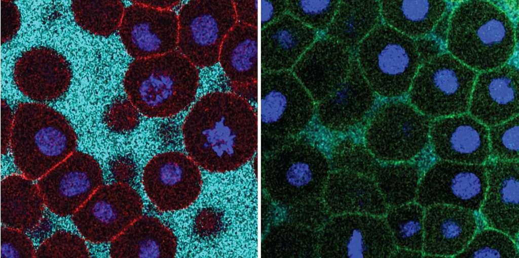 Durant la transition de fluidité, les cellules perdent contact les unes avec les autres, créant un tissu liquide. © Nicoletta Petridou