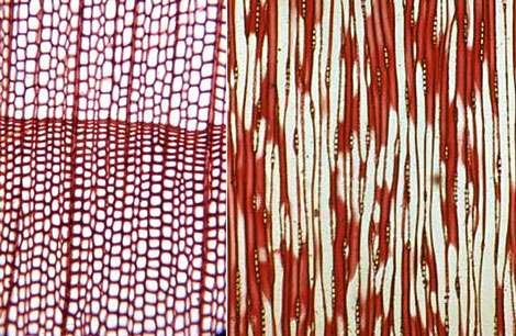 À gauche : wood gymnosperme. À droite : wood gymno tangentiel. © DR