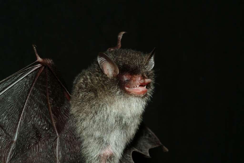 L'une des 3 espèces de chauves-souris (Murina), découverte à la réserve naturelle de Bac Huong Hoa dans la province de Quang Tri, au Vietnam. Murina beelzebub, c'est son nom, est dépendante de la forêt tropicale, laquelle est grignotée par les activités humaines. © Gabor Csorba/Hungarian Natural History Museum