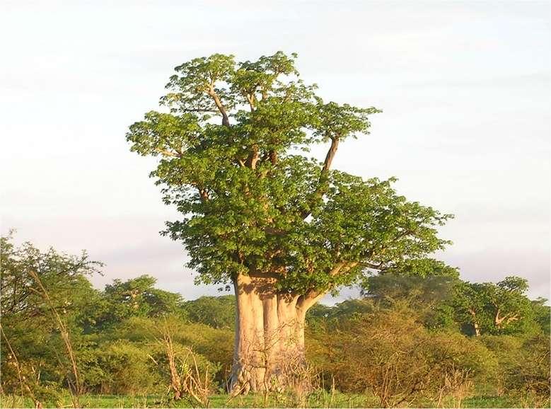 Un arbre au port majestueux et au tronc imposant. On trouve 8 espèces de baobabs, à Madagascar, en Afrique, à Mayotte et en Australie. © Sébastien Garnaud