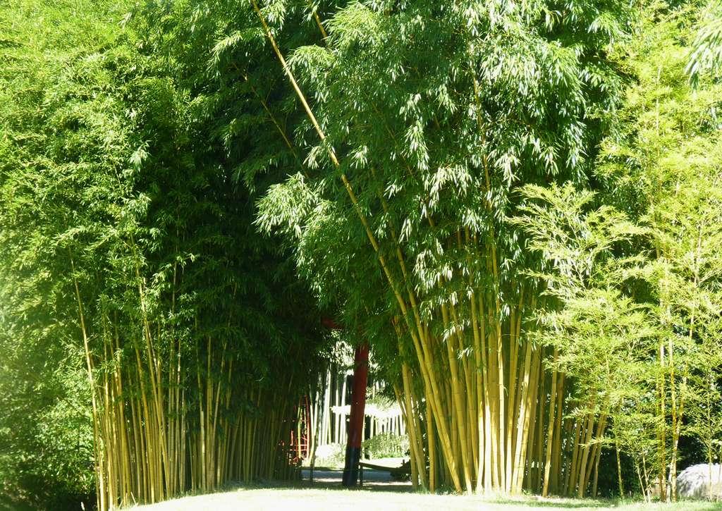 Le chaume de bambou, qui n'est autre que la tige de la plante, se développe très rapidement. © AB - Tous droits réservés