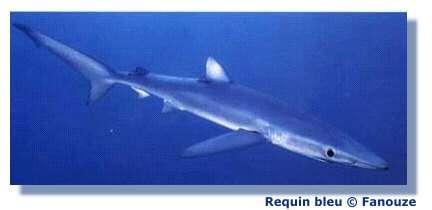 Plusieurs espèces de requins sont en danger d'extinction. © Fanouze
