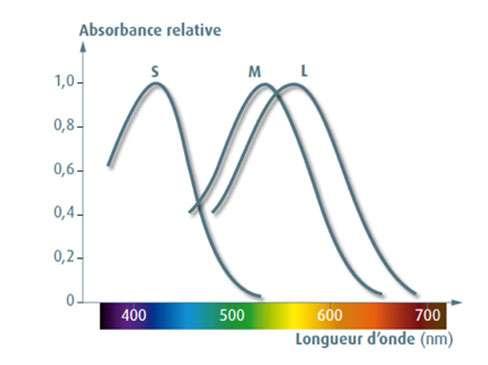 Les trois types de cônes, S, M et L, tapissant la rétine sont sensibles à trois gammes de longueurs d'onde. Les couleurs sur l'axe des abscisses montrent la correspondance entre longueur d'onde et couleur perçue lorsqu'une bande étroite de longueur d'onde est sélectionnée (à l'aide d'un filtre, par exemple). © Éditions Belin, DR