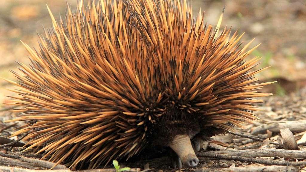 L'échidné d'Australie, cousin de l'ornithorynque