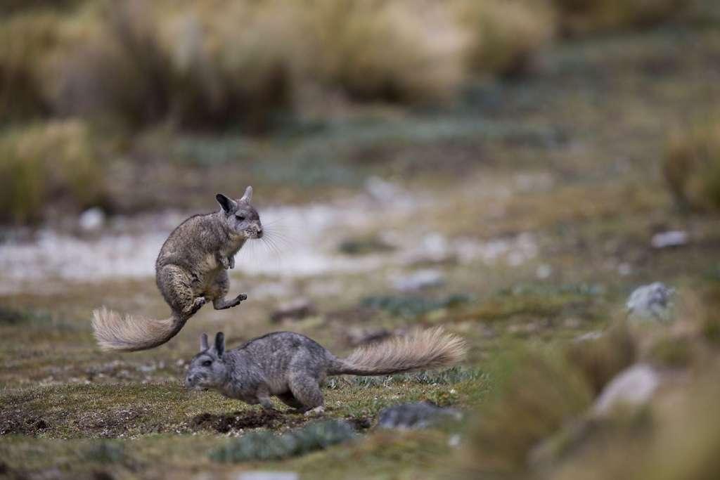Les viscaches se lancent parfois dans une frénétique série de courses et de bonds. Un comportement inexpliqué et rarement décrit. © Cyril Ruoso