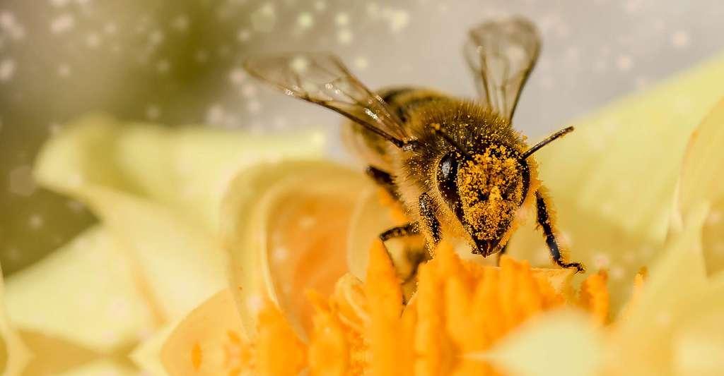 Découvrez nos T-shirts abeilles. Ici, une abeille butinant. © Myriams-Fotos, Shutterstock