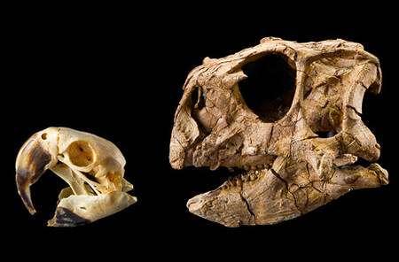 Une comparaison entre le crâne d'un perroquet (à gauche) et celui d'un Psittacosaurus gobiensis (à droite). Crédit : Mike Hettwer