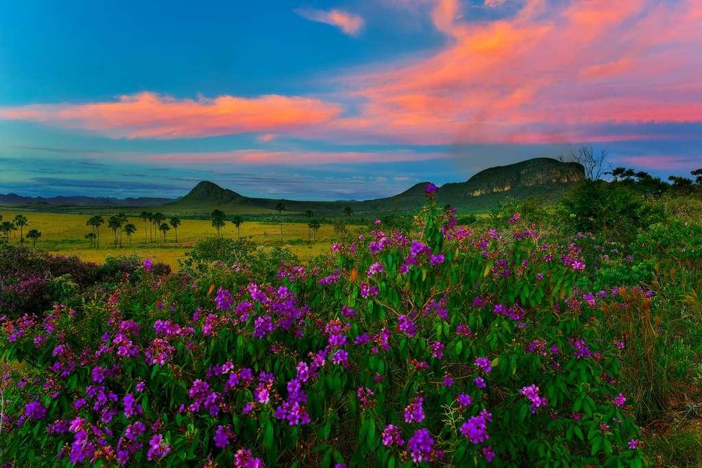 Le Cerrado et ses prairies fleuries