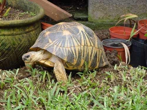 La tortue étoilée est endémique de Madagascar. © Philippe Mespoulhé - Tous droits de reproduction interdit.