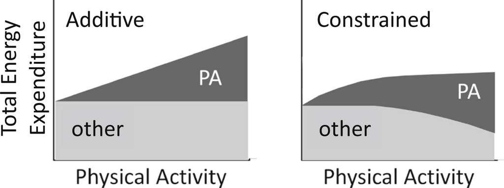 En raison du mécanisme de compensation, la dépense énergétique totale n'est pas égale à la somme du métabolisme de base et de l'activité physique. © HermanPontzer et al., Current Biology, 2016