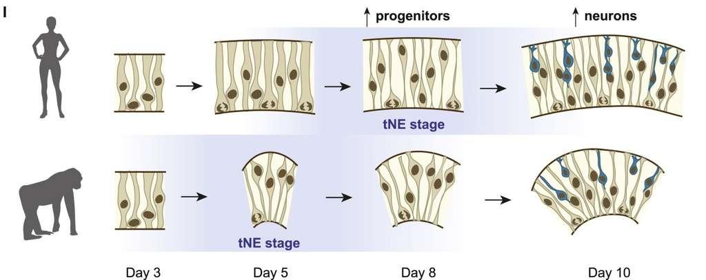 L'étape de transition entre les cellules neuroépithéliales et les glies radiaires (tNE) intervient plus tard chez les humains que les grands singes. Cela explique la taille importante de notre cerveau. © Silvia Benito-Kwiecinski et al. Cell