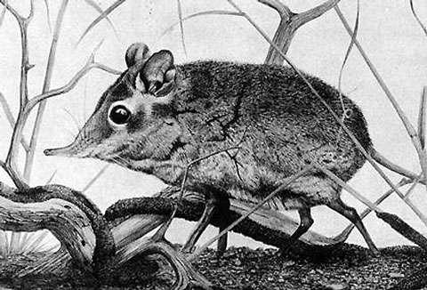 Petrodomus tetradactylus