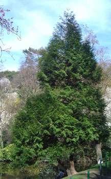 Thuya géant ou red cedar