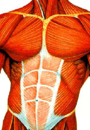 Muscles abdominaux. © DR