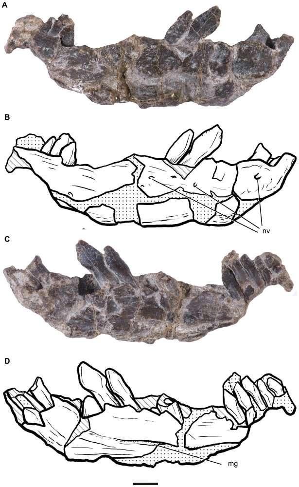 La mâchoire et les dents de Leonerasaurus taquetrensis (ici la mâchoire inférieure droite) montrent des caractéristiques proches mais bien distinctes des vrais sauropodes. Les paléontologues s'intéressent ici à la forme de l'os, à celle des dents et à la position des foramens neurovasculaires (nv, des passages pour des nerfs et des vaisseaux) et de la rainure meckelienne (mg), absente chez les mammifères. La barre d'échelle mesure 5 millimètres. © Diego Pol, Alberto Garrido, Ignacio A. Cerda/Plos One