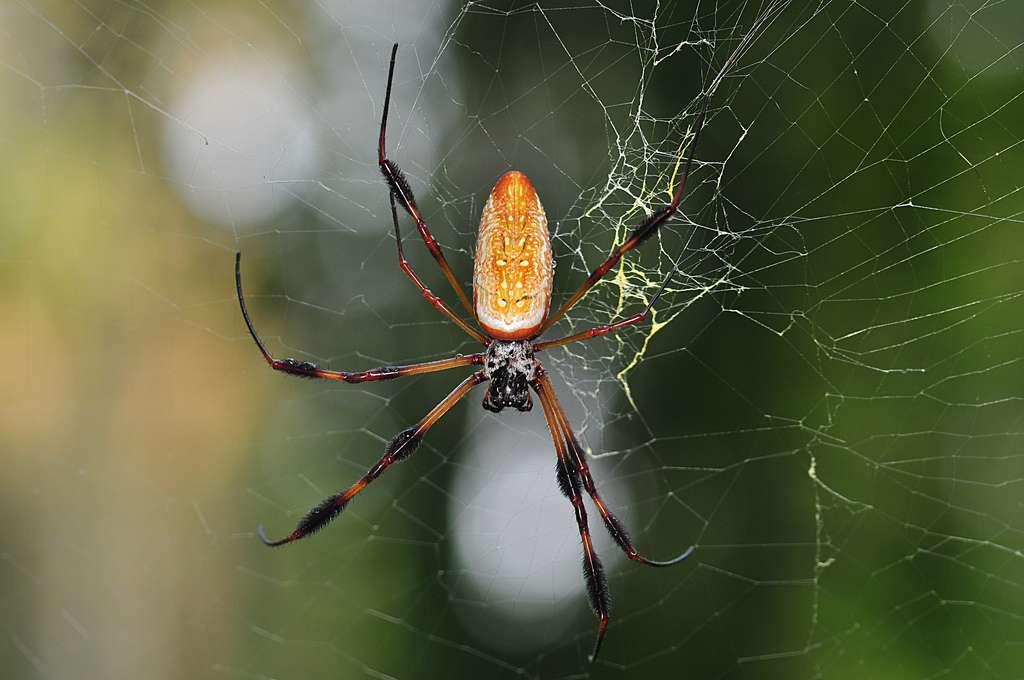 Néphile dorée sur sa toile. Sa résistance en fait un matériau de choix pour la pêche dans certaines ethnies. © spiderman (Frank), Flickr, cc by nc sa 2.0