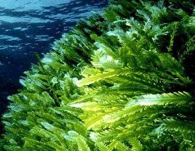 Caulerpa taxifolia. © DR