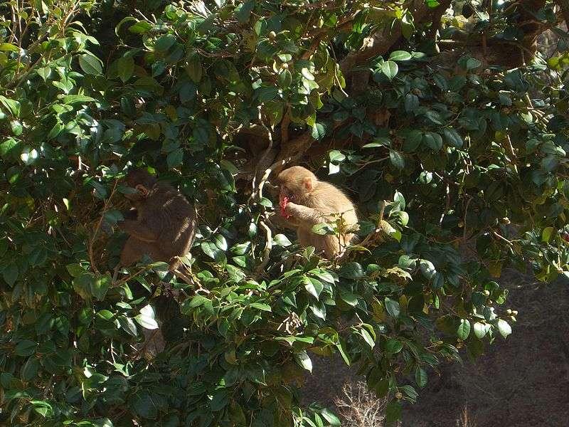 Macaques se nourrissant. © Noneotuho, GNU FDL Version 1.2