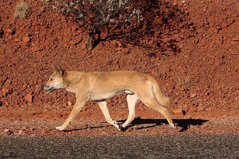 Dingo sur la route... © Jarrod Amoore, CCA 2.0 Generic license
