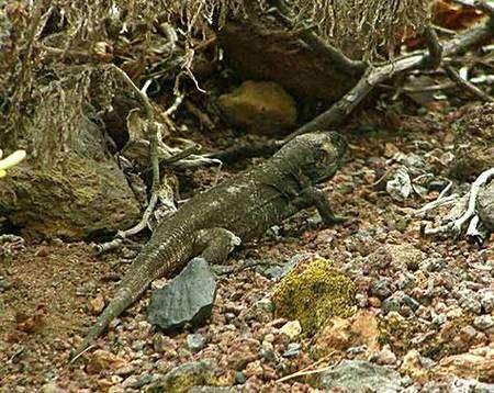Le Lézard géant de La Palma, un revenant ! Crédit UICN