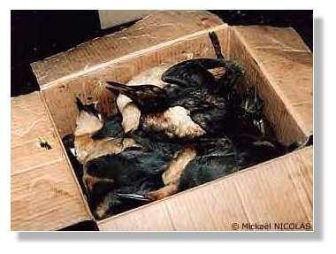 © Mickaël Nicolas – Les oiseaux morts d'entassent dans les cartons