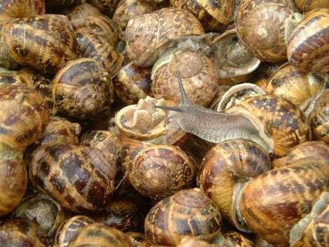 Les Petits-Gris font partie des escargots consommés. © DR