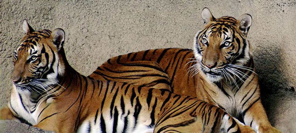 Deux tigres d'Indochine (Panthera tigris corbetti). © Kabir Balie, CC by 2.5