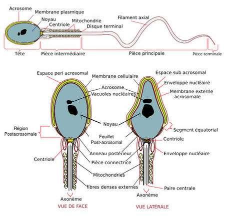 Le premier dessin (en haut) présente l'ensemble du spermatozoïde chez un vertébré. Ce dernier est composé d'une tête (décrite plus en détail dans les deux autres dessins) et d'une queue, appelée flagelle. Le flagelle est lui-même composé de trois parties : la pièce intermédiaire, la pièce principale, et la pièce terminale. © Mariana Ruiz LadyofHats (Traducteur Moez) domaine public wikipedia. Chez les drosophiles, il n'y a pas de pièce intermédiaire, les mitochondries étant réparties de part et d'autre de l'axonème le long du flagelle.