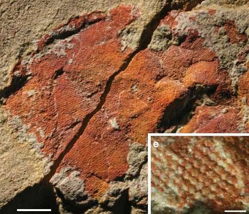 Fossile d'un des yeux composés (échelle = 2 mm). Encart : détail des ommatidies (échelle = 0,3 mm). © Paterson et al. 2001, Nature