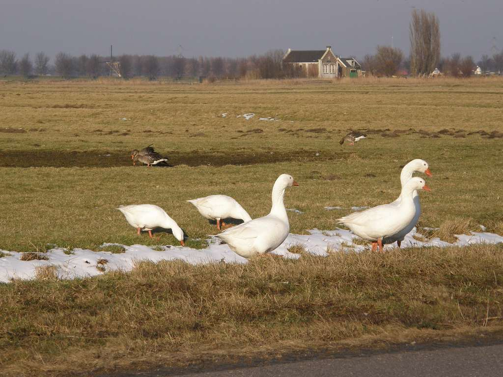 Troupe d'oies dans le sud des Pays-Bas. © Bas Kers, Flickr, cc by nc sa 2.0
