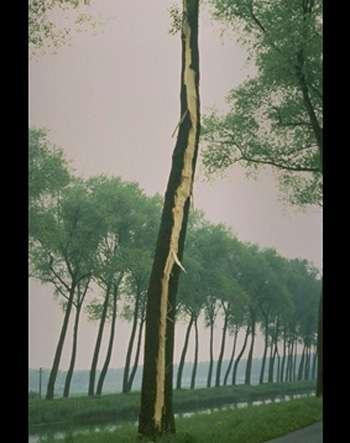 Arbre foudroyé : écorce éclatée. © Avec l'autorisation de H. Theys