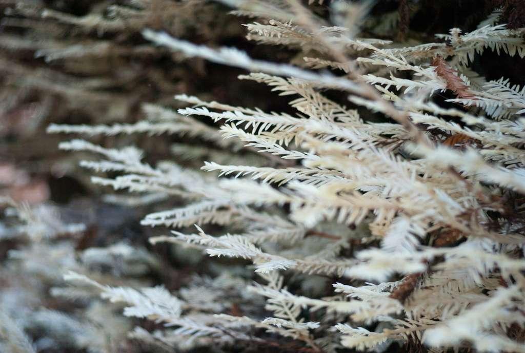 Le cas de ces séquoias albinos est unique au monde. © mollie c, Flickr