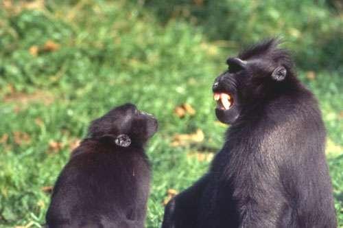 Mimique avec découvrement des dents émise par le mâle dominant d'un groupe de macaques à crête. © Odile Petit - Reproduction et utilisation interdites