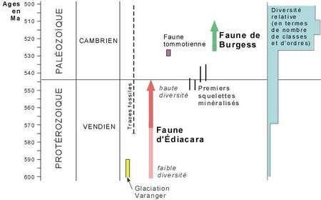 Une chronologie approximative des débuts de l'Ediacarien et du Cambrien. A droite et en bleu, les augmentations de la diversité de la vie. Crédit : P.-A. Bourque