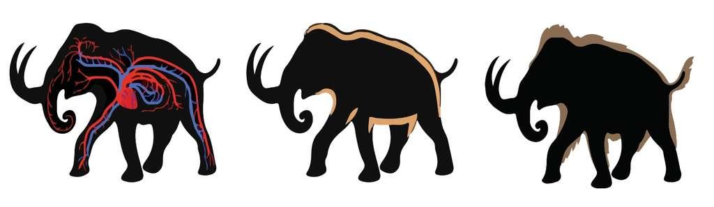 Les trois adaptations au froid venues du mammouth laineux dont les chercheurs veulent doter un éléphant d'Asie (représenté par la silhouette noire) : un transport d'oxygène plus efficace, une couche adipeuse épaisse et une fourrure de longs poils. © Woolly Mammoth Revival