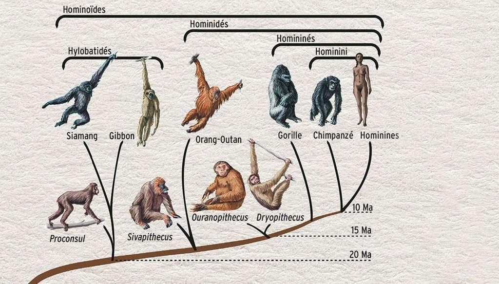 L'arbre phylogénétique de l'Homme. © Bettman, Corbis