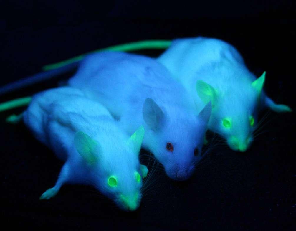 Deux souris qui portent un gène codant pour une protéine fluorescente entourent une souris non transgénique. © Moen et al, BMC cancer