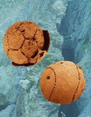 Deux fossiles d'embryons datant de 600 millions d'années et extraits de la formation Doushantuo en Chine du Sud. © Shuhai Xiao