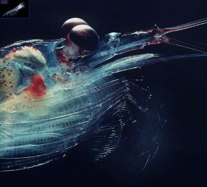 Gros plan de la tête d'un krill. © Uwe Kils - GNU FDL Version 1.2
